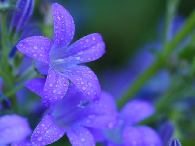 Blüten nach dem Regen