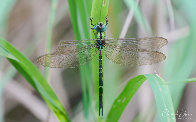 Dingy Dusk-hawker