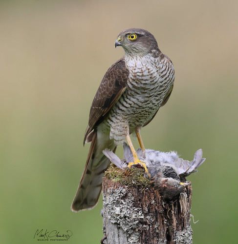 Sparrowhawk | by Chiv3