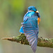 Young Kingfisher