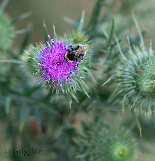 thistleandbee3