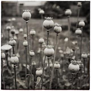 Poppy heads.......