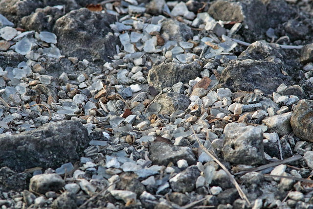 Killdeer nest 20200709