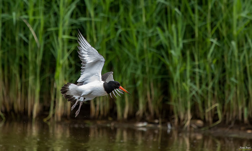 The oystercatcher | by K-PIXEL-N