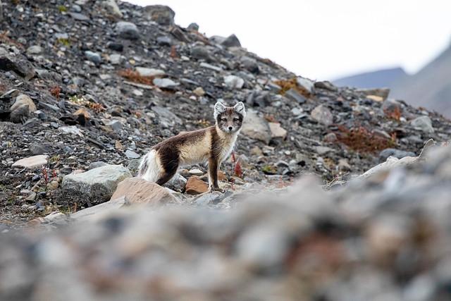 Little arctic fox in Svalbard (Spitsbergen), Norway