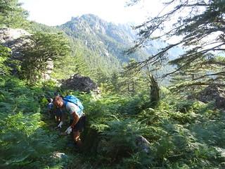 Chemin RG du Finicione : zone de fougères dans la descente du Castedducciu