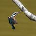 Kingfisher -202007090926.jpg