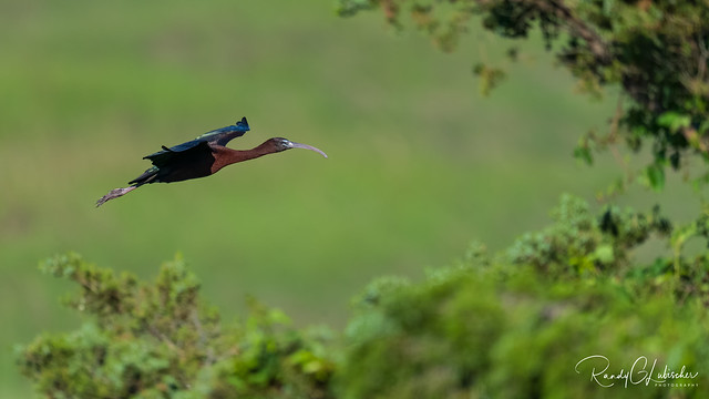 Glossy Ibis - Plegadis falcinellus | 2020 - 3