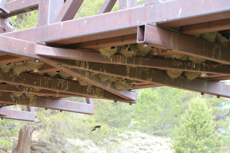 There were hundreds of swallow nests under the metal bridge over the South Fork Kern River