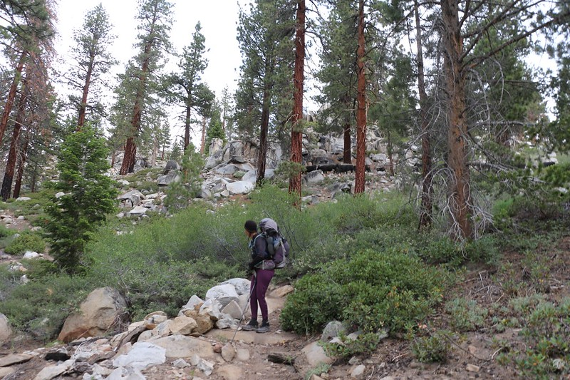 We barely made it down the PCT beyond the Monache Meadow Trail junction when a herd of cattle came by