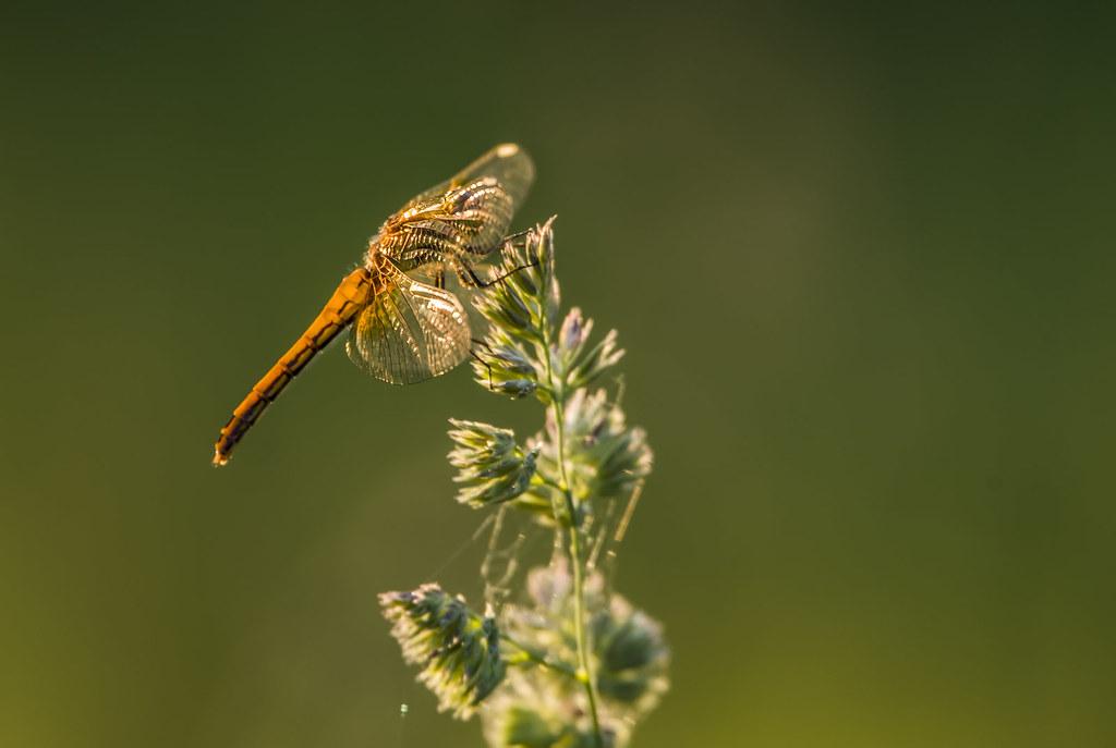 Стеклянные крылья.