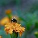 2020-MFDG281-Dig Bee pollinating a Marigold blossom