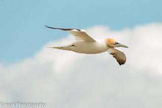 Gannet, (Morus bassanus); RSPB Bempton Cliffs_07.20