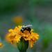 2020-MFDG283-Dig Bee pollinating a Marigold blossom