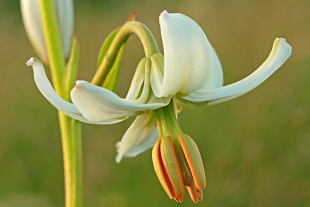 Lilium martagon (white flower)