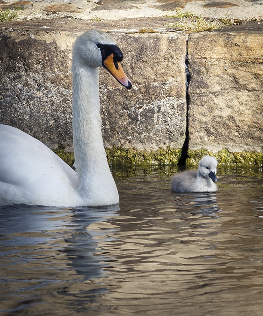 Cygnet and swan, Lancaster Canal at Lancaster, UK