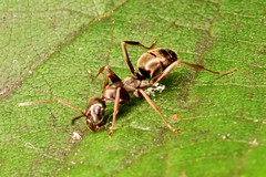 Hurtnica pospolita (Lasius niger)