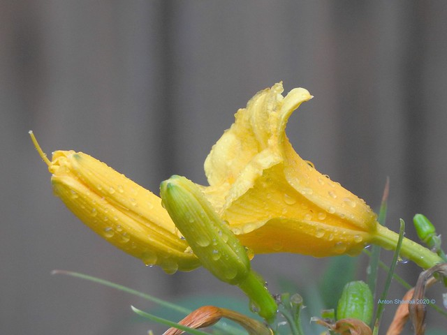 Wet Yellow Daylily Flower