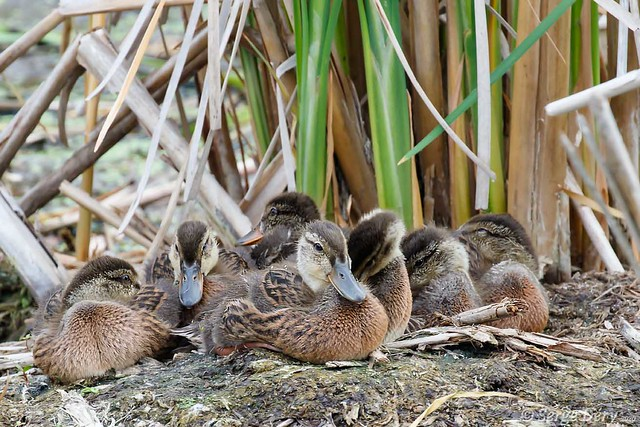 Une famille de colvert (A mallard family).