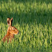 In the spotlight (Brown Hare, Lancashire)