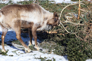 Caribou rubbing on a tree