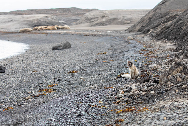 Walruses and a little arctic fox in Svalbard (Spitsbergen), Norway