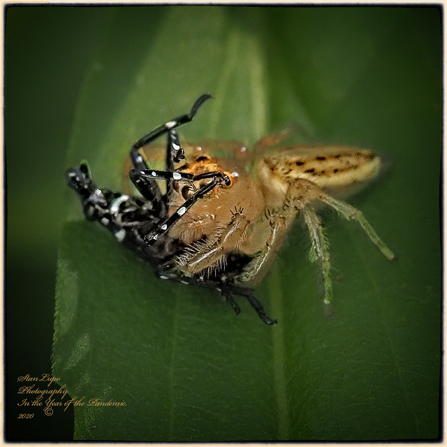 Jumping Spider catches a Lanternfly5