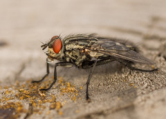 drinking fly