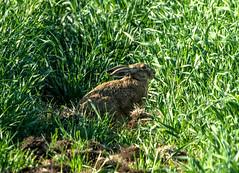 zając // hare