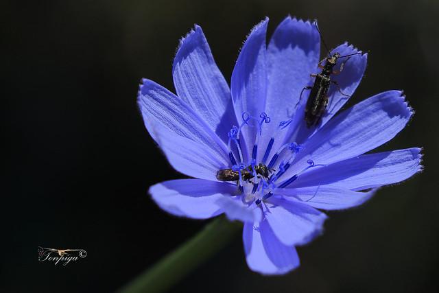 Cichorium intybus  (macro)