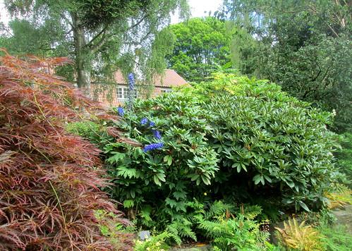 Rhoddie , acer, Branklyn Garden, Perth, Scotland