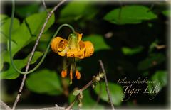 Tiger Lily (aka Columbia Lily)