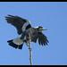 Australian Magpie: Do I look awkward.