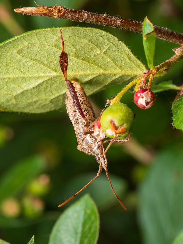 Leaf footed bug
