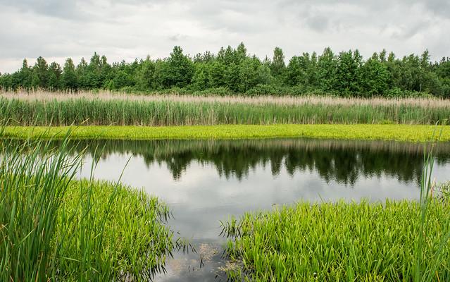 Дзесьці на заліўных лугах ракі Прыпяць у раёне Мазыра, Беларусь