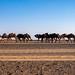 Camel train - Sahara Desert, Errachidia, Erfoud, Morocco