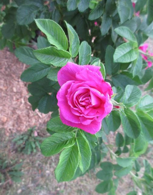 ** Une rose Hansa **