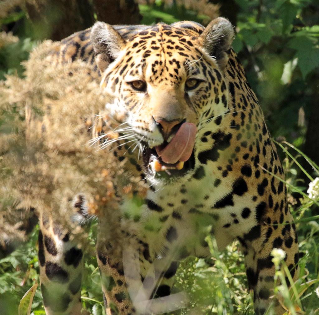 jaguar Rica artis BB2A0444