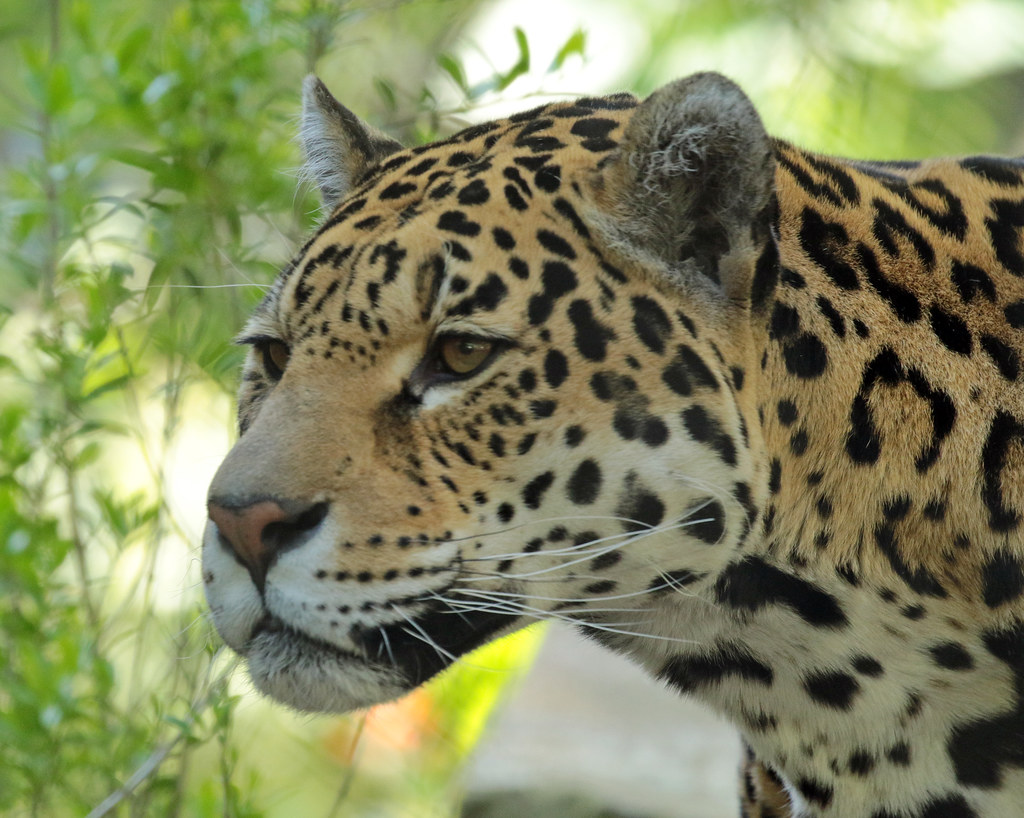 jaguar Rica artis BB2A0412