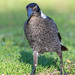 Juvenile Australian Magpie on the hunt in the grass