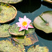 water_lily20