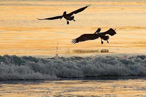 california sanluisobispocounty beach avilabeach coast water surf pelicans bird shore pelecanusoccidentalis wildlife sunset silhouette wave avilastatebeach sanluisbay