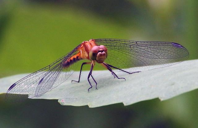 Female Ruby Throated Dragonfly