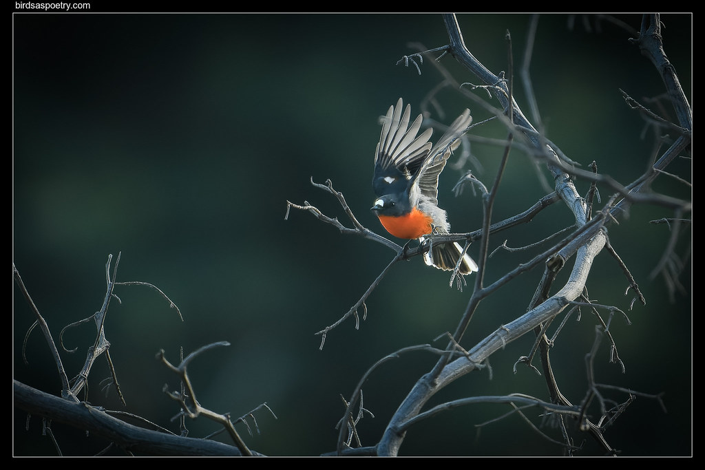 Flame Robin: Outbound