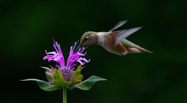 Humming Around the Sweet Nectar of Summer