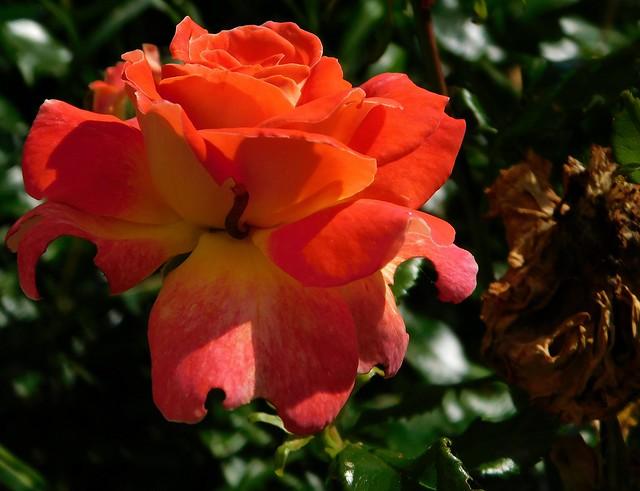 Róża w porannym słońcu.