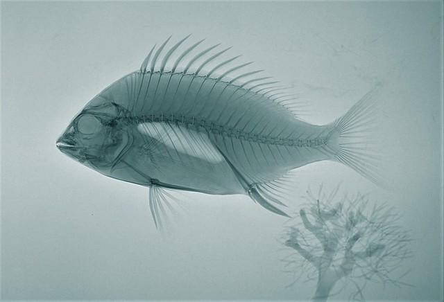 X-ray Fish Large Blue
