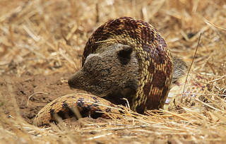 Constriction and Suffocation by Gopher Snake 2020