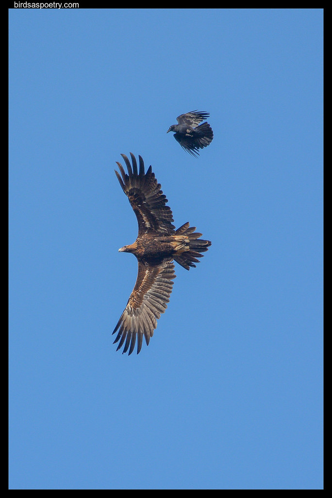 Wedge-tailed Eagle: It is Not Even Playing the Game!