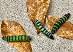 Madagascan Bullseye Moth